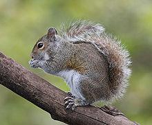 File:220px-Eastern Grey Squirrel.jpg