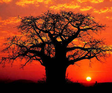 File:Baobab-tree-in-sunset.jpg