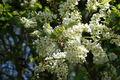 Schlehdorn (Prunus Spinosa).jpg