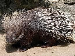 File:Porcupine.jpg