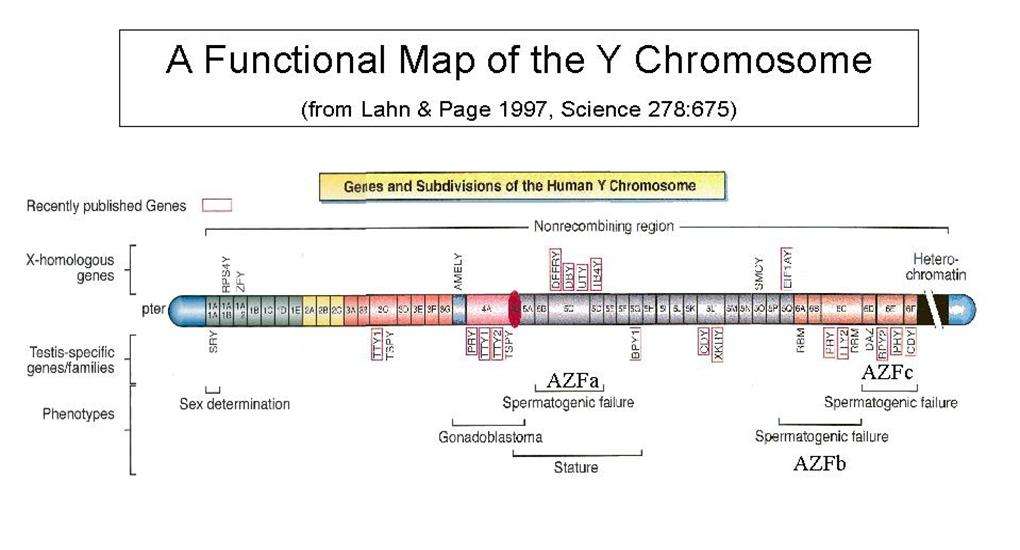 The Loss of the Y Chromosome – Gene Mapping Worksheet
