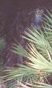Skunk Ape 2000