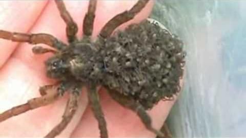 Female Wolf Spider With Babies On Her Back