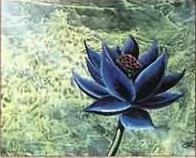File:Black lotus zoom.jpg