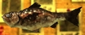 Fragrant Reekfish