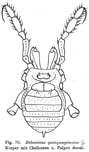 Beloniscus quinequespinosus Thorell-1891