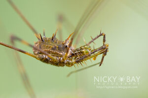 Podoctidae - Singapore by Nicky Bay