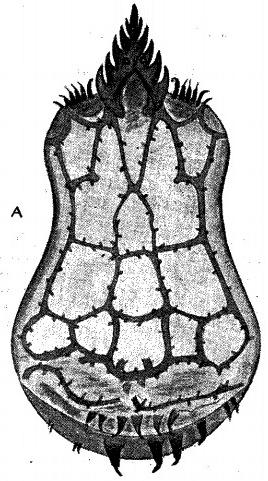 Triaenobunus hamiltoni