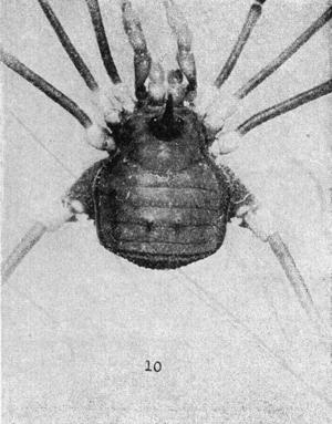 Pseudopachylus longipes Roewer-1912c
