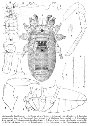 Psathryopus damila Silhavy-1976b