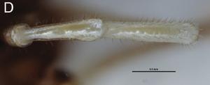 Fosteropsalis pureora Taylor-2013a-D