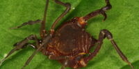 Uracantholeptes