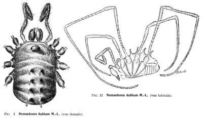 Nemastomella dubia (Mello-Leitão, 1936)