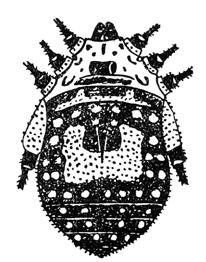 Gagrellula auropunctata