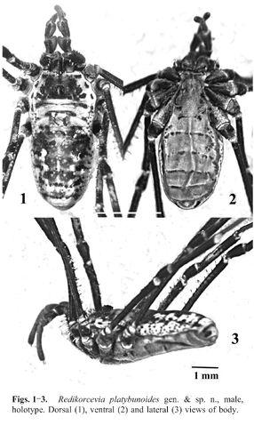 File:Redikorcevia platybunoides Snegovaya & Starega 2008a - fig 1.jpg