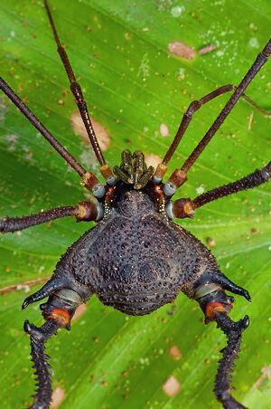 Neosadocus maximus by Burini Flickr