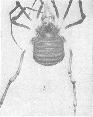 Pseudopachylus eximius ML-1936b