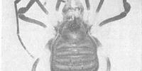 Pseudopachylus eximius