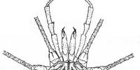 Gagrellopsis