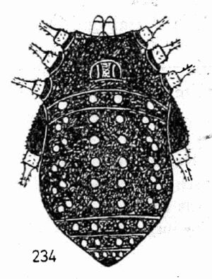 Adungrella punctulata Roewer, 1955