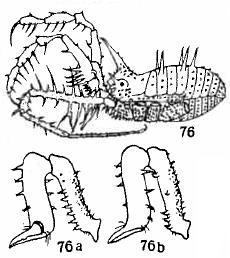 Trencona setipes Roewer-1949c