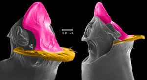 Gjellerupia penis colorized