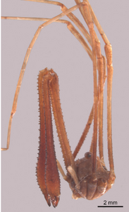 Pantopsalis listeri white-1849-B