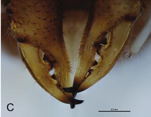 Fosteropsalis pureora Taylor-2013a-C