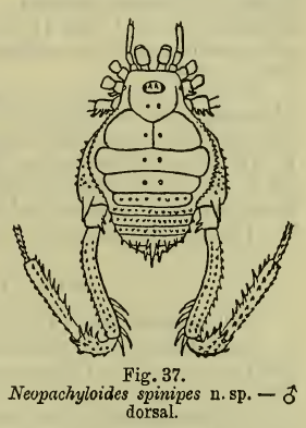 Neopachyloides spinipes Roewer-1913c