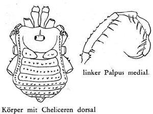 Padangcola jacobsoni Roewer-1963b