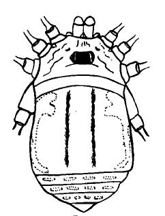Krusa peruviana