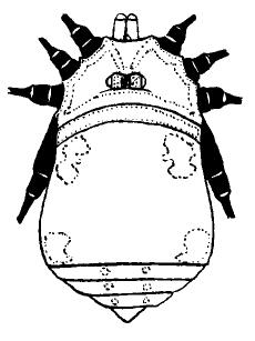 Jussara quadrimaculata