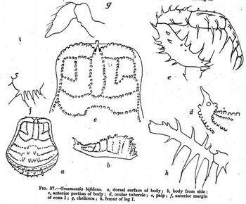 Graemontia bifidens