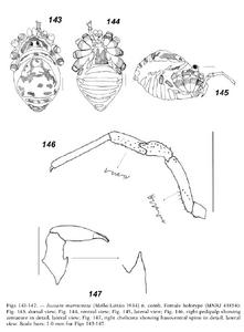 Jussara marmorata 40