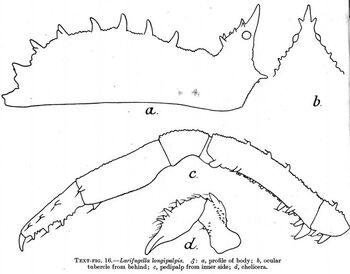 Larifugella longipalpis
