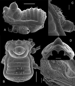 Paratricommatus lockei Kury-2014