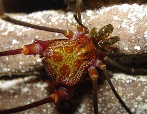 Acutisoma longipes