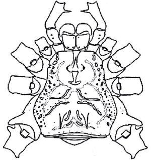Mitogoniella unicornis