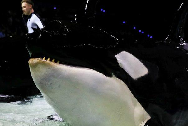 [Médias] Premières performances des orques de Moscou - Page 2 Latest?cb=20151210013304