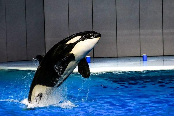 [Médias] Premières performances des orques de Moscou - Page 2 Latest?cb=20151210013935