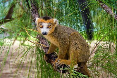 Madagascar-CrownedLemur