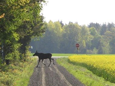 File:Moose crossing.jpg