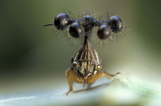 File:BrazillianTreehopper.png