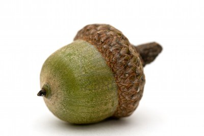 File:6951551-acorn-on-a-white-background.jpg