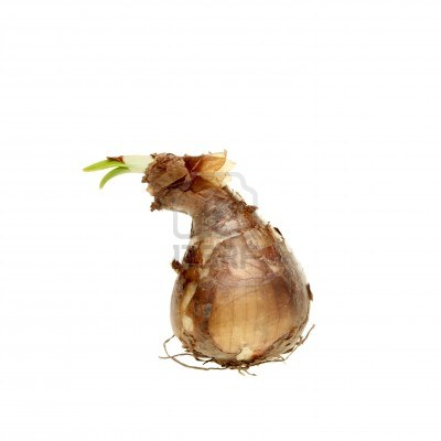File:11081338-sprouting-daffodil-bulb-isolated-against-white.jpg