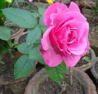 Bandel Rose