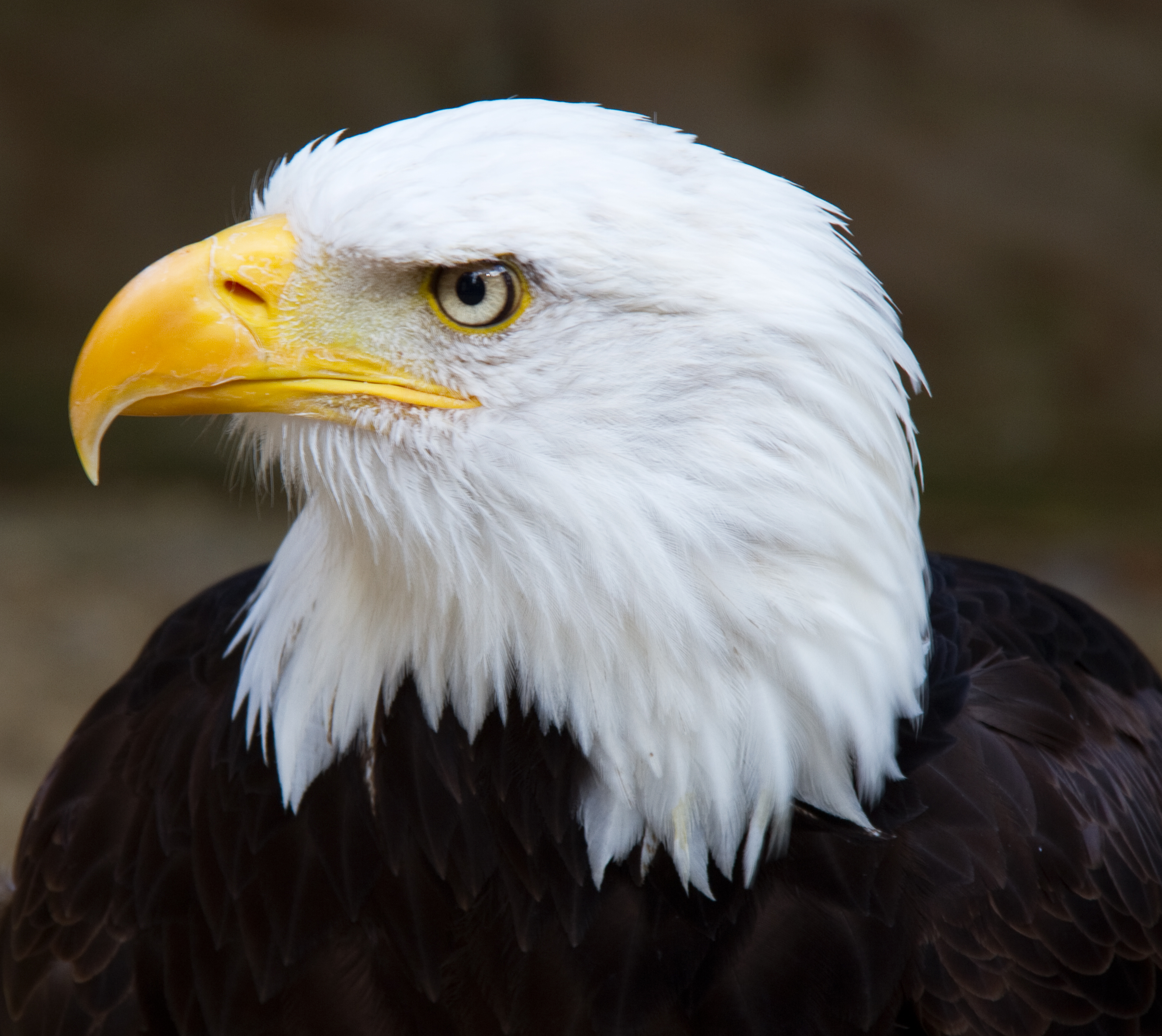 Bald_Eagle_Head_2_%286021915997%29.jpg