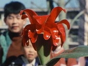TsutakazularFlower
