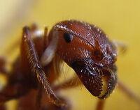 Ant head closeup
