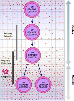 Intrathymic T Cell Differentiation